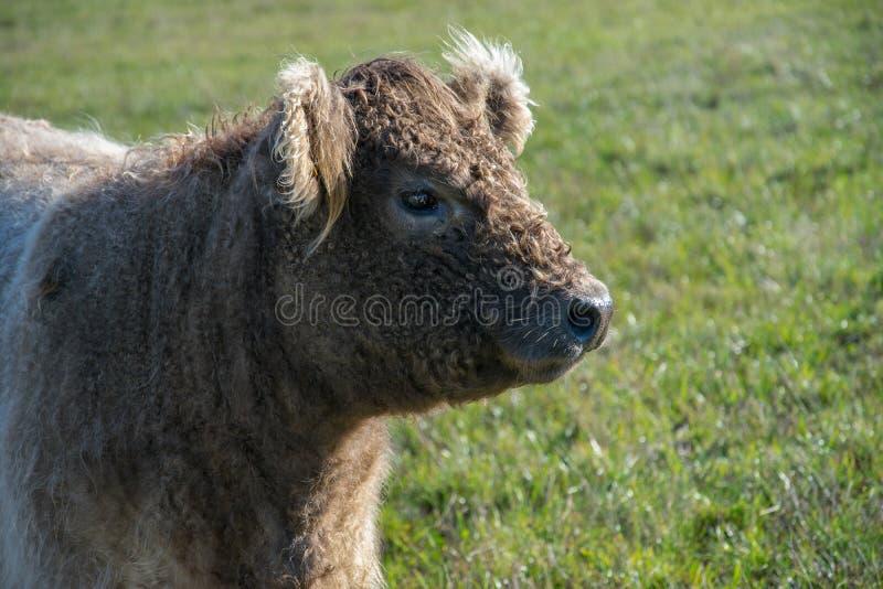 Голова шотландского быка гористой местности в профиле стоковая фотография