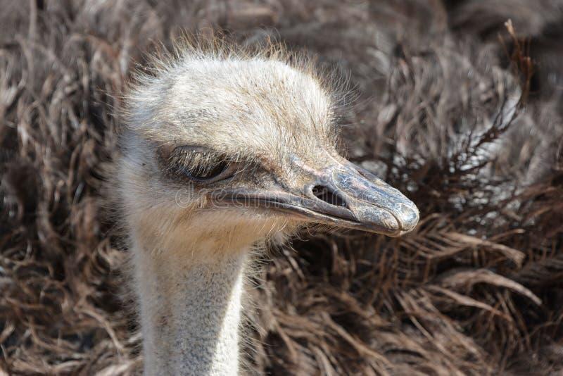 Голова camelus Struthio страуса, конец-вверх, Африка стоковые изображения