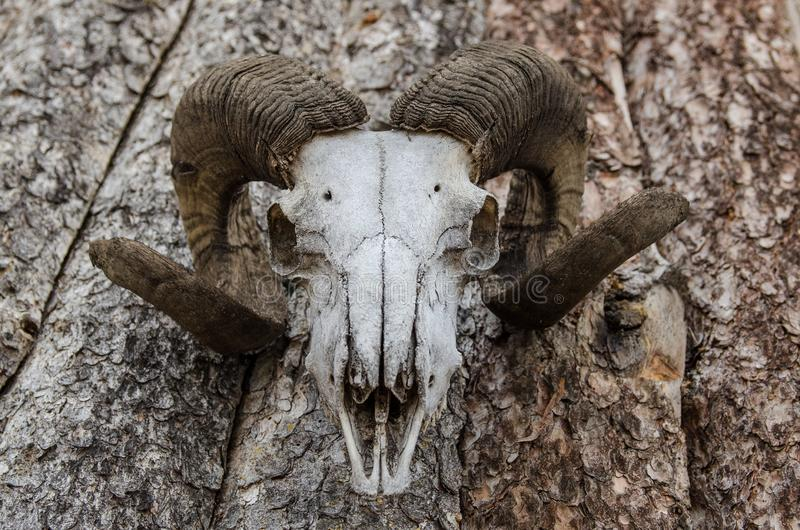 Голова moufflon Скелет, углы стоковые изображения