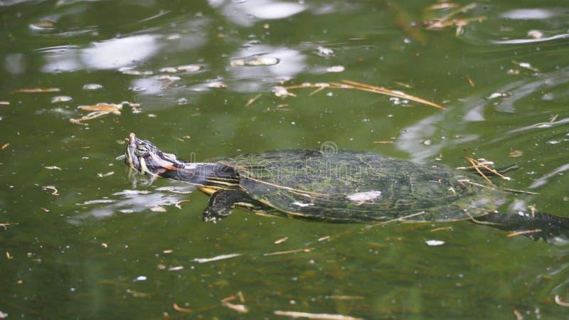 Голова peeking из воды, Lerida черепахи, Испания стоковые фото