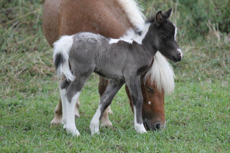 Голова ` s матери миниатюрной лошади младенца готовя стоковые фотографии rf