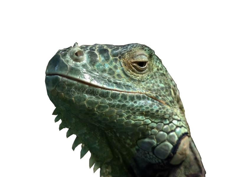 Голова w/Paths игуаны стоковая фотография