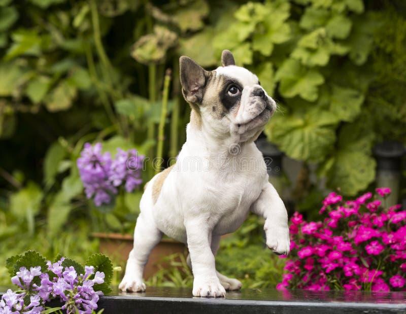 головка бульдога раскосная французская смотря усаживание 6 старого щенка бортовое к неделям стоковое фото
