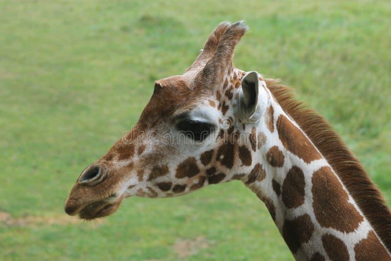 Головка жирафа стоковая фотография rf