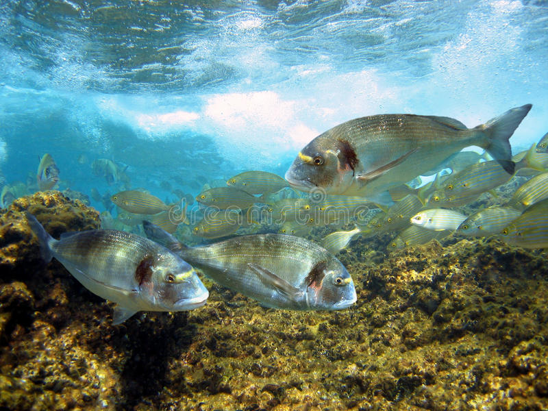 головка подсвинка леща среднеземноморская стоковое фото