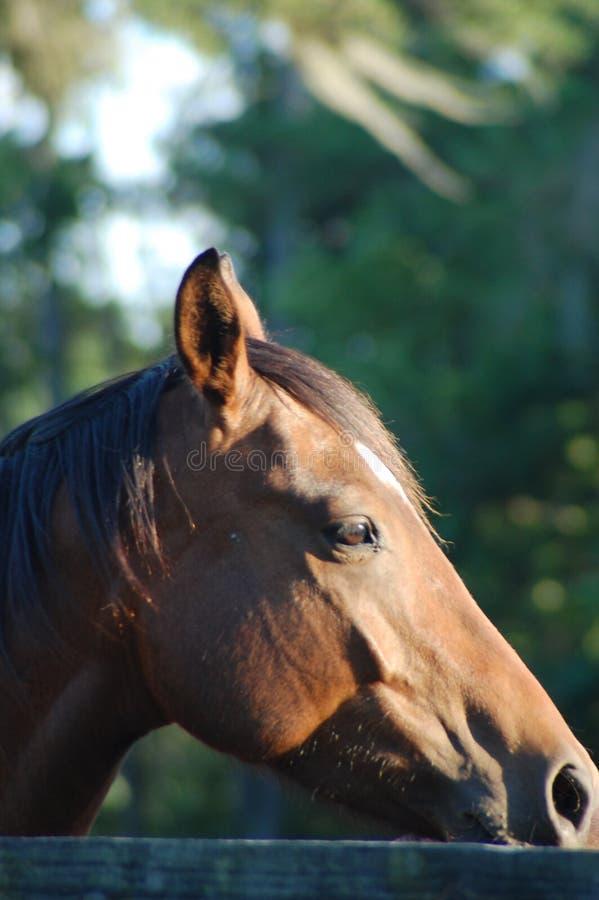 головная лошадь s стоковые изображения