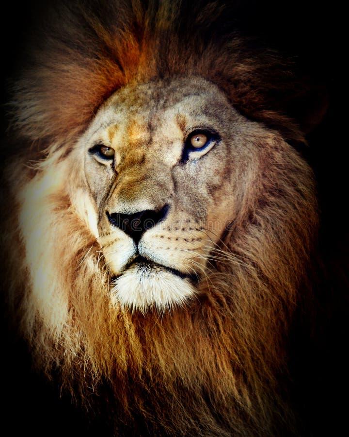 Головная съемка льва стоковые изображения rf