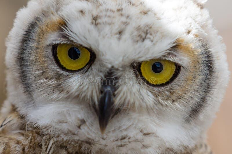 Головная съемка ювенильного евроазиатского сыча орла стоковая фотография