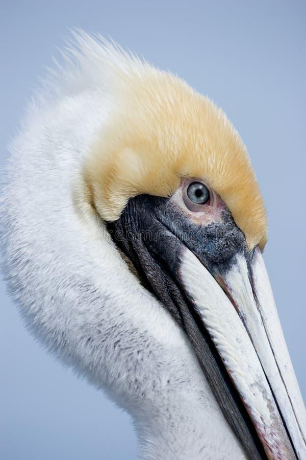 головной желтый цвет пеликана стоковые изображения