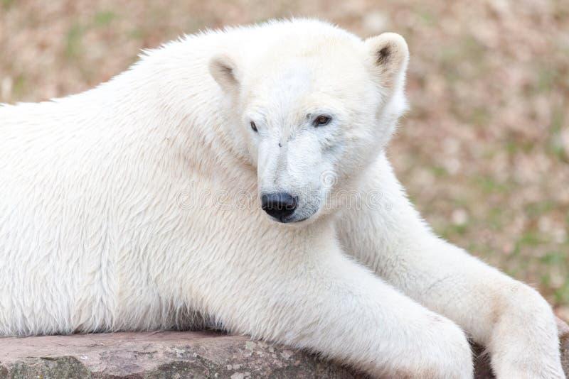 Головной портрет медведя льда стоковое фото rf