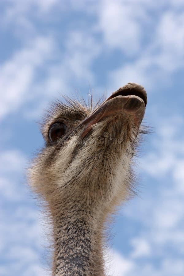 головной страус стоковые изображения