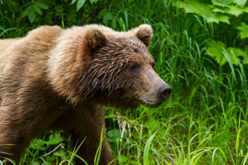 Головы и плечи arctos больших Ursus бурого медведя идя около озера редут в аляскской глуши стоковая фотография rf