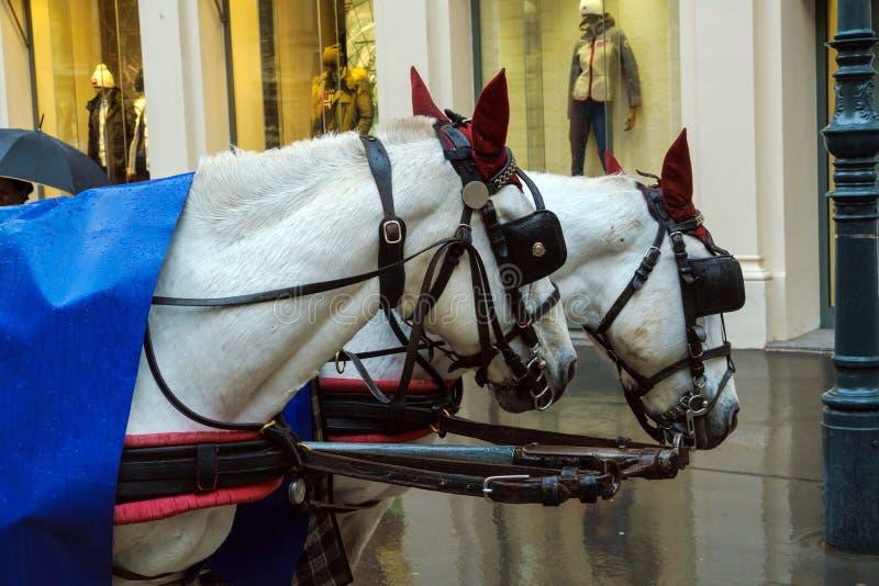 2 головы лошади традиционного экипажа, вены, Австрии стоковая фотография rf