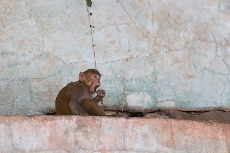Голодная обезьяна макаки сидя в профиле на крошить розовая стена есть листья стоковое фото rf