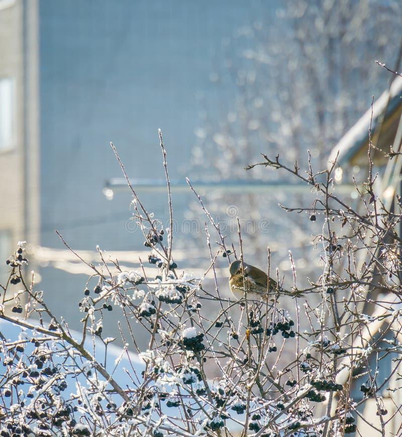 Голодная птица есть ягоды