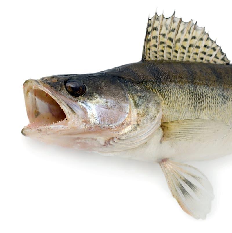 Голодные изолированные рыбы изверга стоковые изображения rf