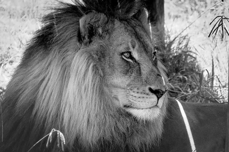Голодный лев рассматривая его домен стоковая фотография rf
