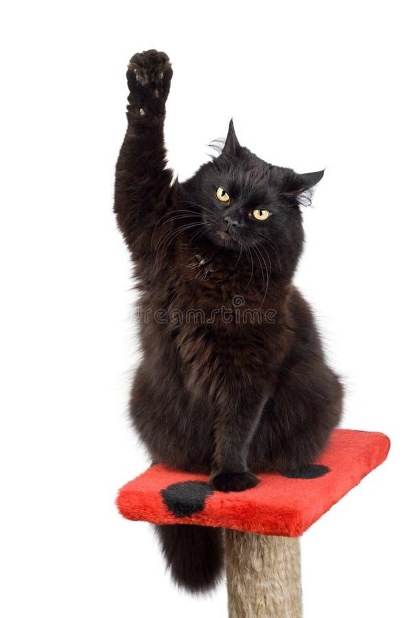 голосовать черного кота стоковое изображение rf