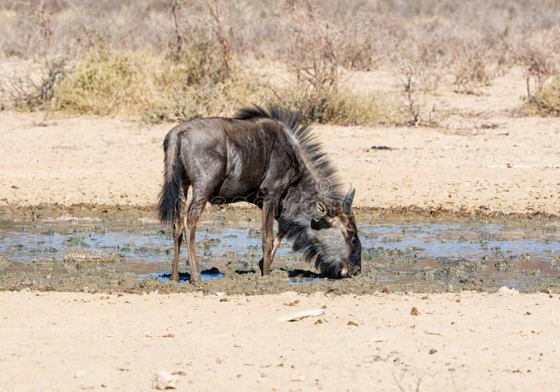 Голубая антилопа гну стоковая фотография rf