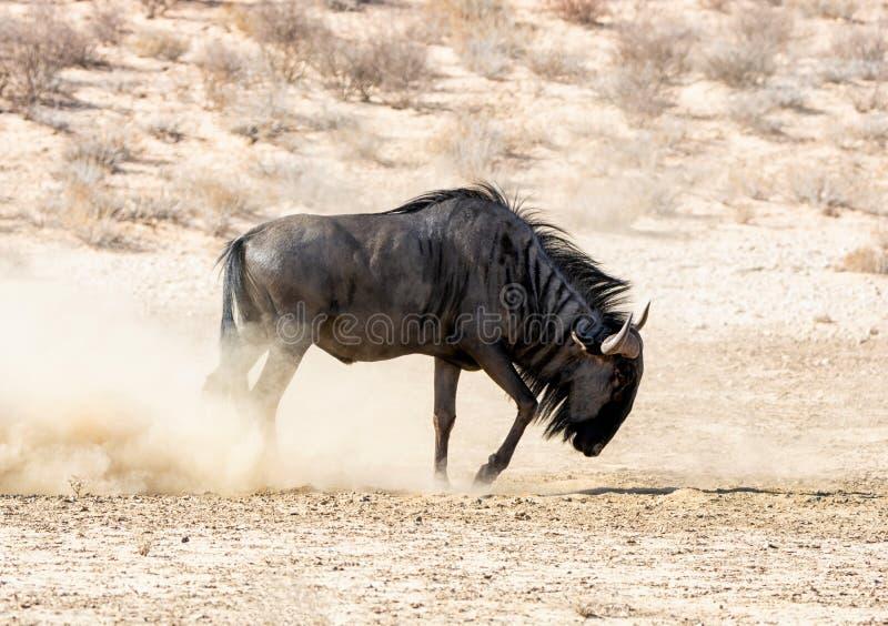 Голубая антилопа гну стоковые изображения rf