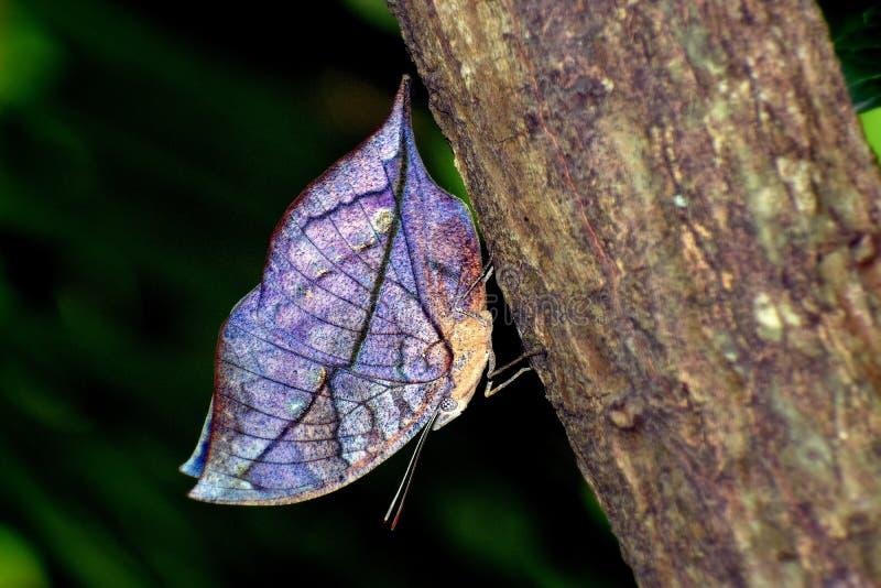 Голубая бабочка лист дуба стоковое изображение rf