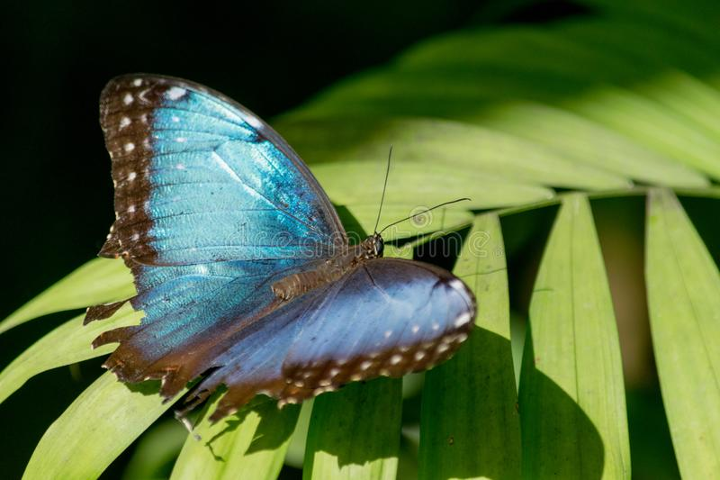Голубая бабочка на загорать лист стоковое фото
