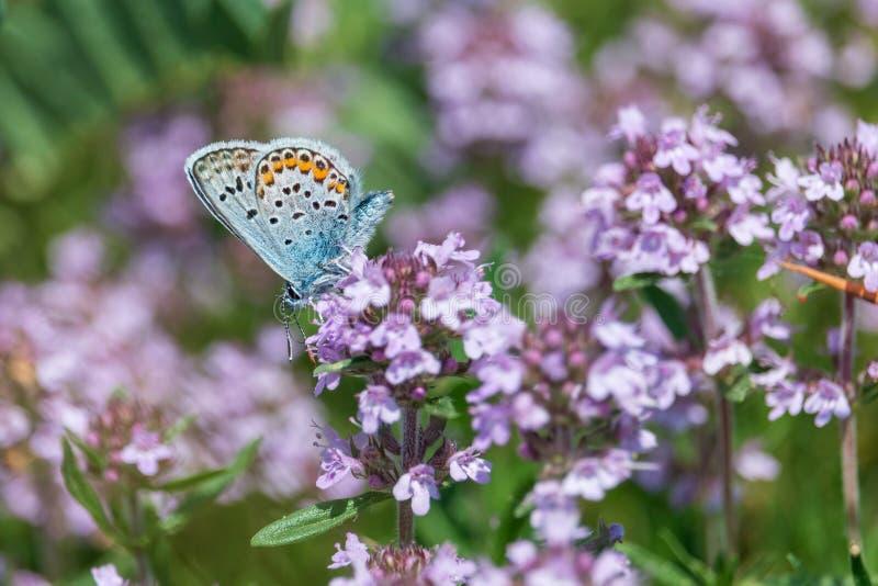 Голубая бабочка на пурпурном конце-вверх цветка тимиана стоковое фото rf