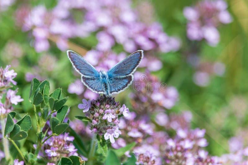 Голубая бабочка на пурпурных цветках тимиана стоковые фотографии rf