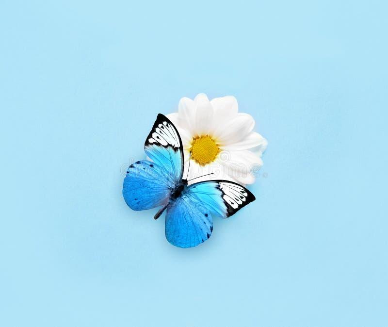 Голубая бабочка на цветке белой маргаритки background card congratulation invitation стоковое изображение