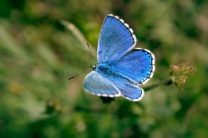 голубая бабочка стоковая фотография rf