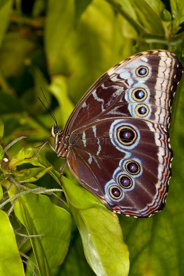 голубая бабочка morph стоковое изображение rf