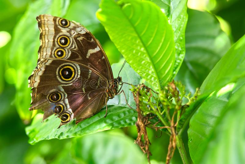 Голубая бабочка Morpho стоковые фото