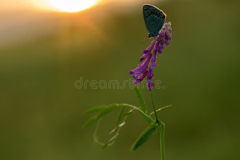 Голубая бабочка Polyommatus Икар на цветке леса под первыми лучами солнца стоковые изображения