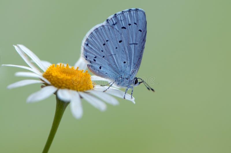Голубая бабочка Polyommatus Икар покрыл с росой сидит на утре на цветке маргаритки стоковые фото