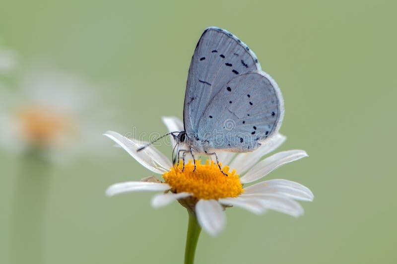 Голубая бабочка Polyommatus Икар покрыл с росой сидит на цветке маргаритки стоковые фото