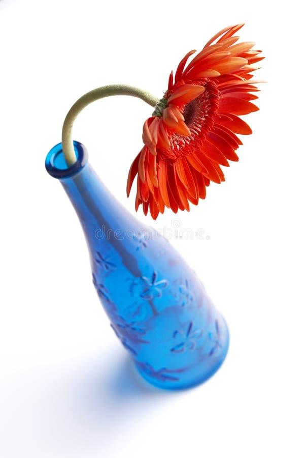 голубая ваза красного цвета gerbera стоковые фотографии rf