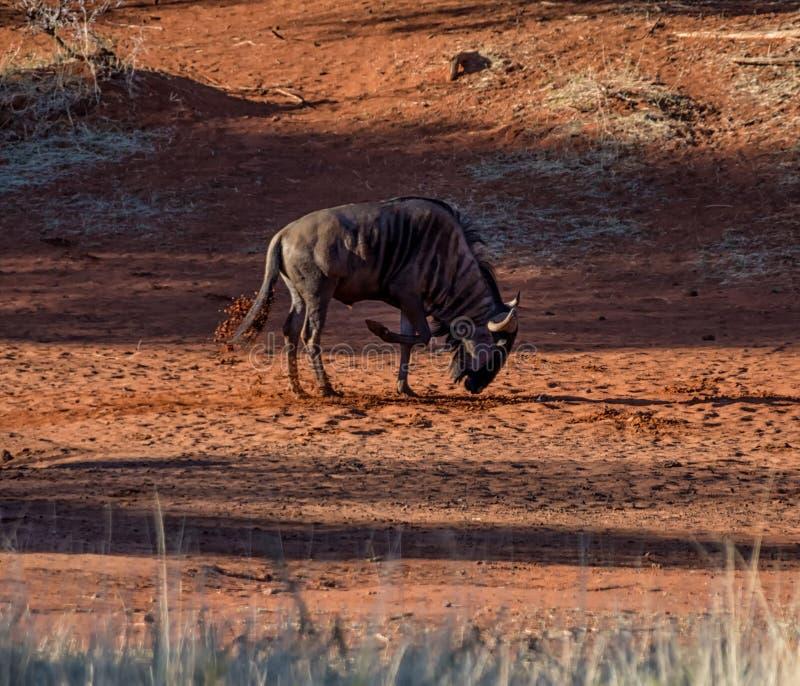 Голубая ванна пыли антилопы гну стоковое изображение rf