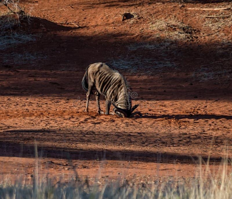 Голубая ванна пыли антилопы гну стоковая фотография rf