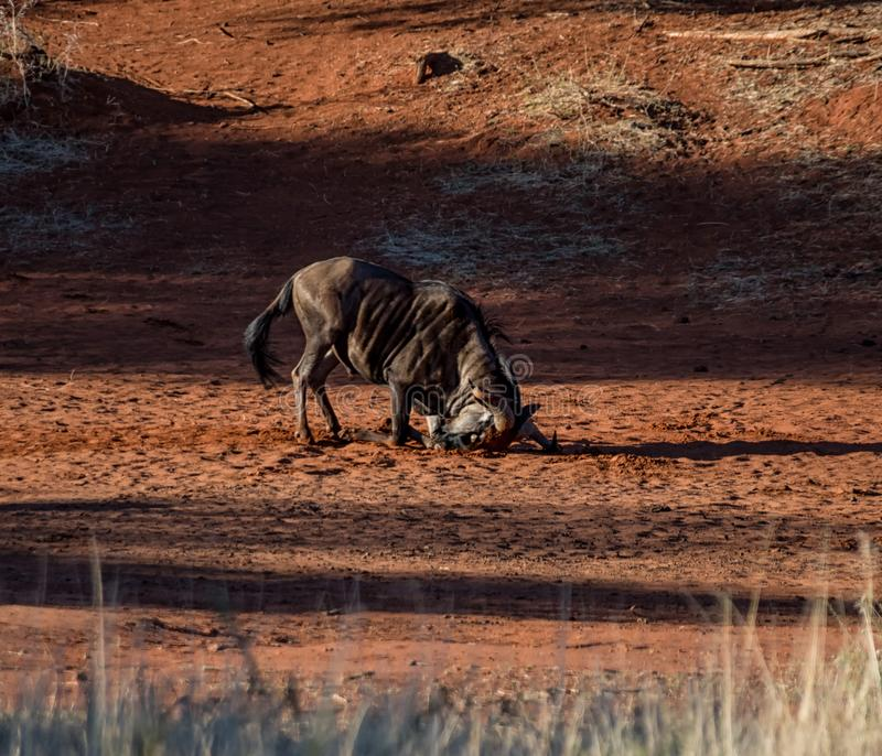 Голубая ванна пыли антилопы гну стоковое фото