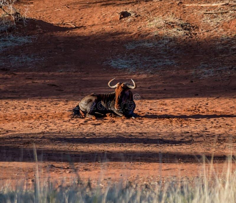 Голубая ванна пыли антилопы гну стоковые изображения