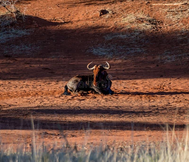 Голубая ванна пыли антилопы гну стоковые изображения rf
