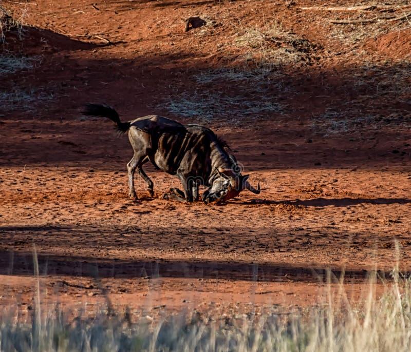 Голубая ванна пыли антилопы гну стоковое фото rf