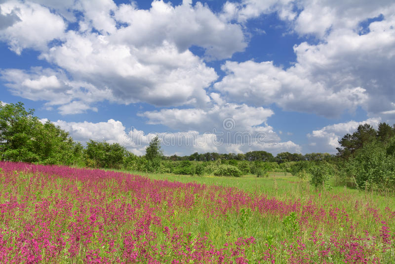 голубая весна неба цветка поля стоковая фотография rf