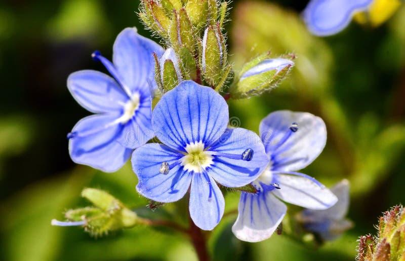 голубая весна цветка стоковые фотографии rf