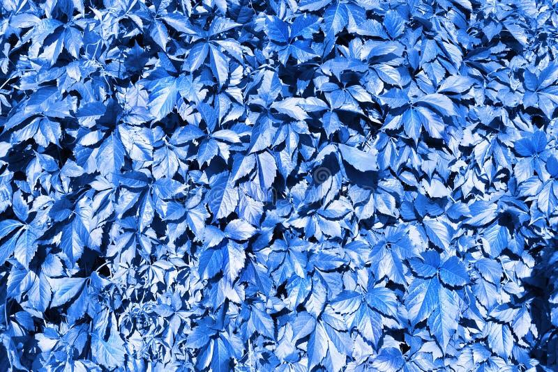 Голубая виноградина выходит фон, абстрактный конец предпосылки текстуры листвы вверх, дизайн картины природы фантазии творческий, стоковая фотография