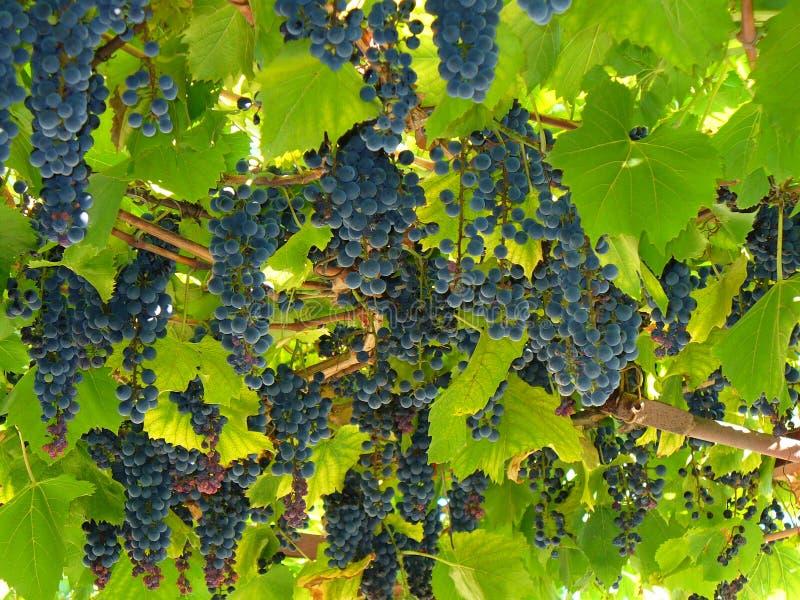 голубая виноградина стоковое изображение