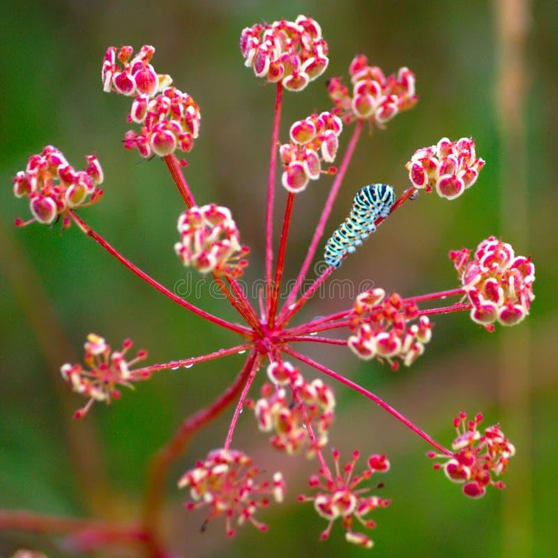 Голубая гусеница на полевом цветке стоковые изображения