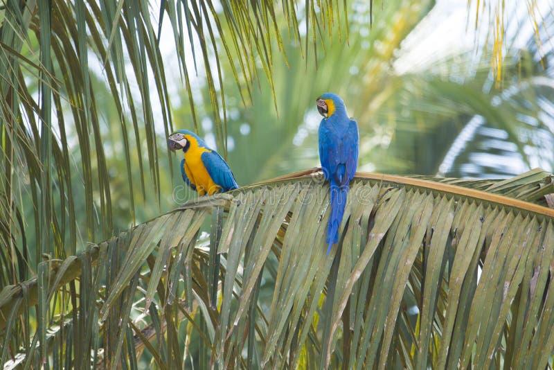 Голубая и желтая ара в пальме, Бразилии стоковые изображения