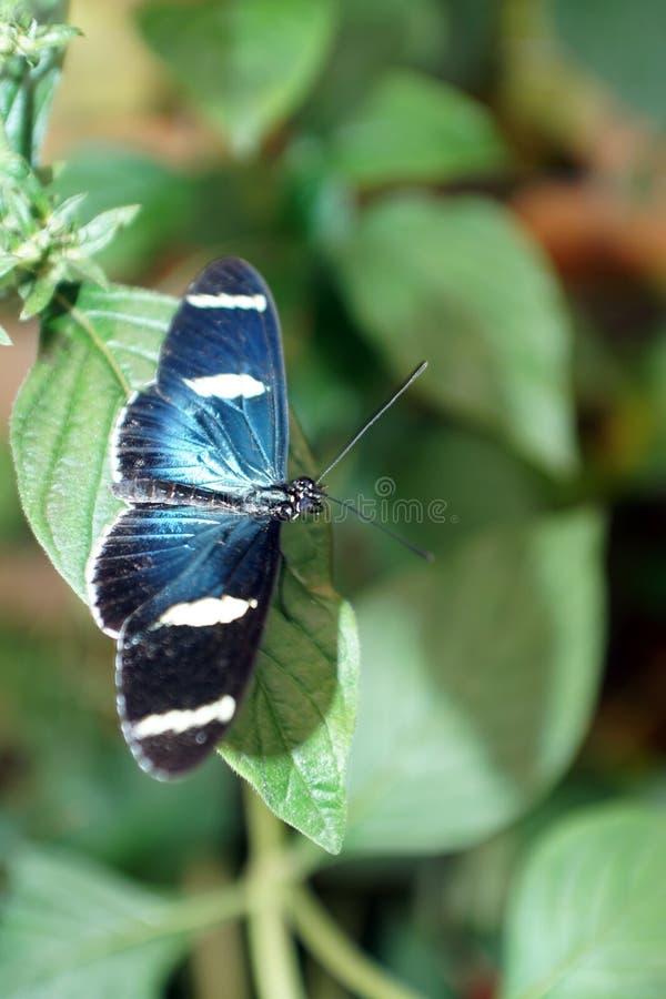 Голубая и черная бабочка на лист стоковое изображение