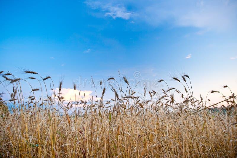голубая, котор хранят пшеница небес стоковая фотография rf